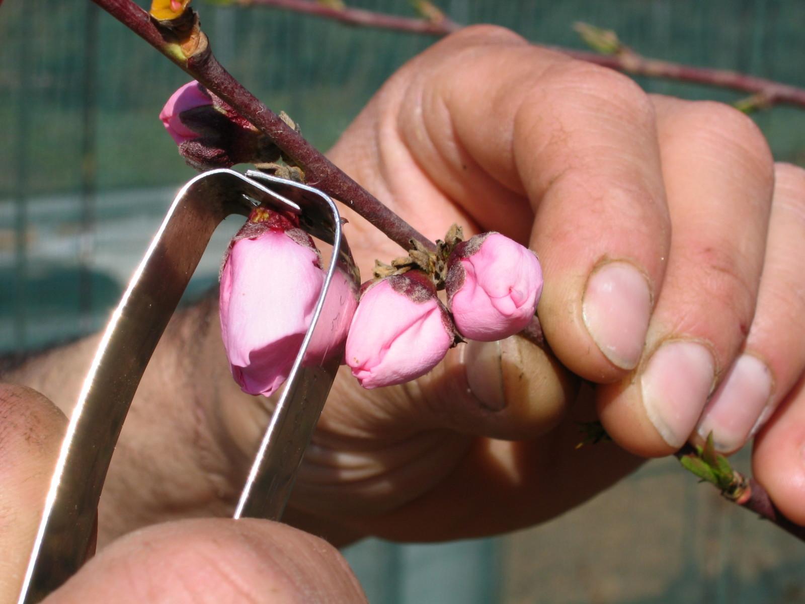 HYBRIDATION Castration fleur en bouton